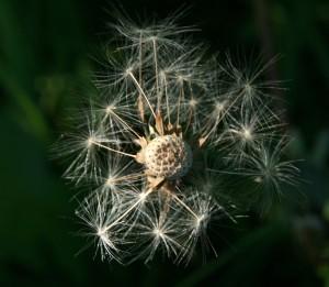 dandelion15