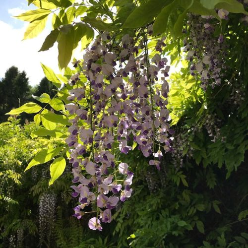 wisteria, design inspirations
