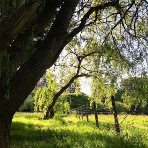 willow tree, garden inspirations