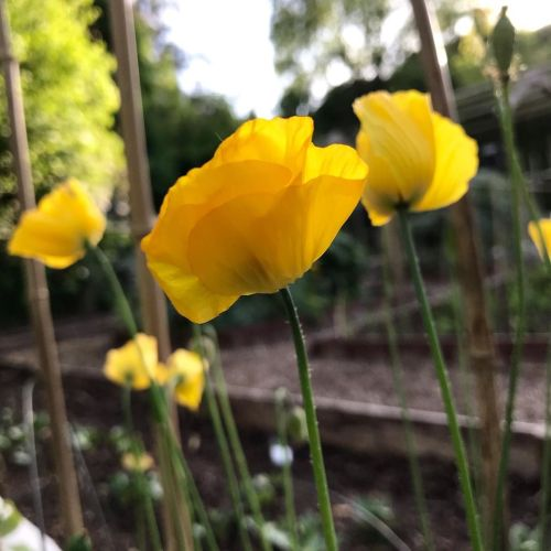 Welsh poppies in the vegetable garden. They are so full of grace…