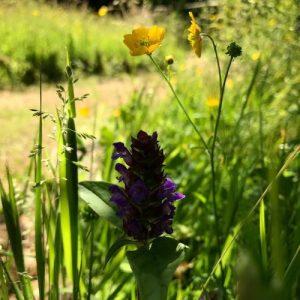 no mow, natural meadows